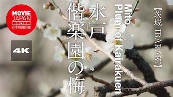 水戸 偕楽園の梅