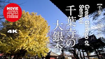 千葉寺の大銀杏