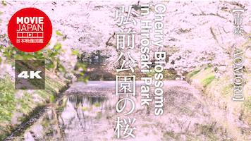 日本三大桜名所 弘前公園の桜