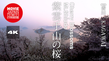 紫雲手山の桜