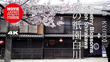 桜の祇園白川