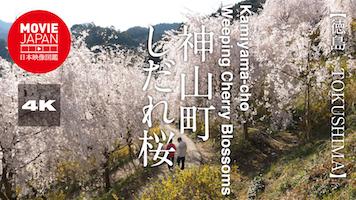 神山町しだれ桜
