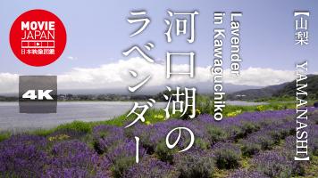 河口湖のラベンダー