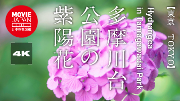 多摩川台公園の紫陽花